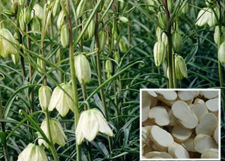 (Xuyên Bối Mẫu được trồng vừa làm thuốc, vừa làm cảnh vì có hoa rất đẹp)