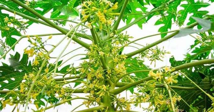 Hoa đu đủ đực có thể sử dụng để chữa ho cho trẻ sơ sinh