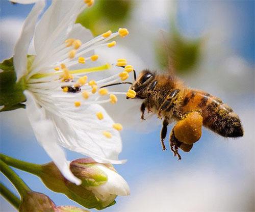 Phấn hoa bám vào niêm mạc mũi sẽ khiến mũi bị ngứa ngáy, khó chịu